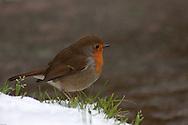 Robin in the snow. Roodborstje in de sneeuw.