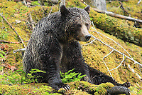 Grizzly bear sitting in moss, interior rainforest