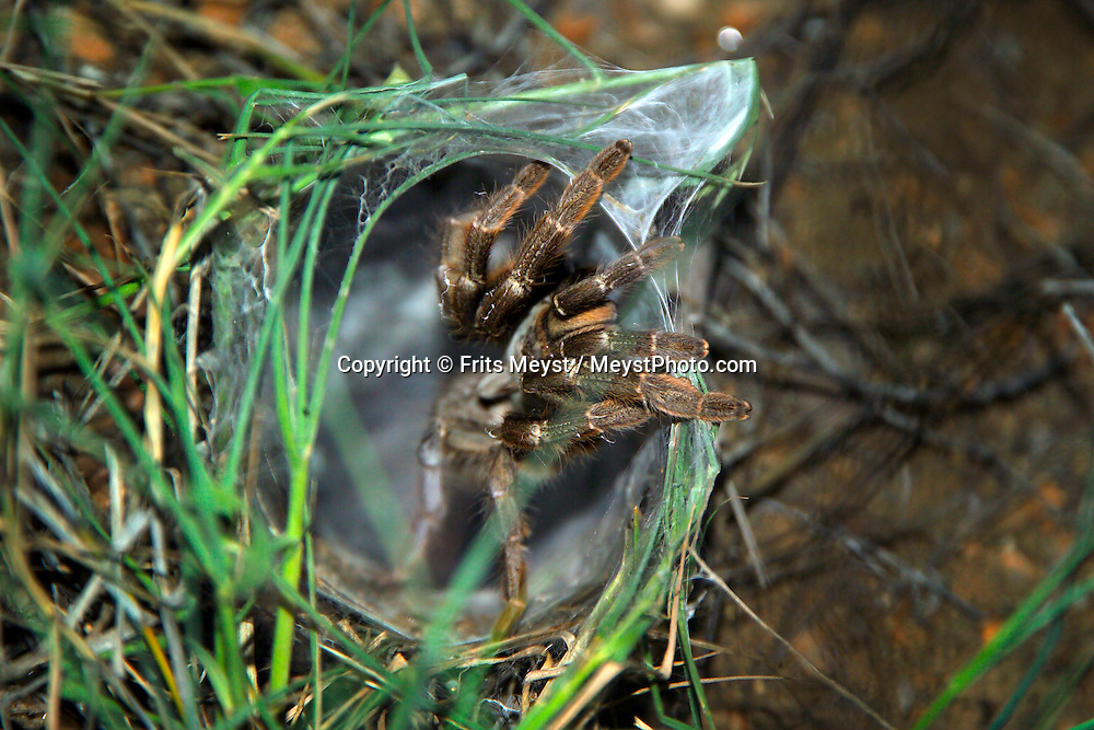 KLASERIE PRIVATE GAME RESERVE, SOUTH AFRICA, DECEMBER 2004. A funnel web spider crawls out of his hole. Wildlife guide Gary Freeman takes people on walking safaris in the bush. Photo by Frits Meyst/Adventure4ever.com