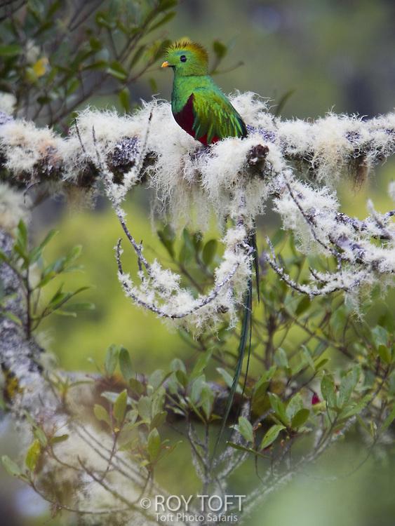 Resplendent Quetzal (Pharomachrus mocinno) perched on a branch, San Gerardo de Dota, Costa Rica