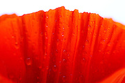 Closeup of orange poppy petal