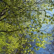 Birch branches with new leaves