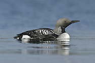 Black-throated Diver - Gavia arctica - Summer adult. L 60-70cm. Swims buoyantly with bill held level. Dives frequently. Sexes are similar. Adult in summer has blue-grey nape and head, and black throat; sides of neck have black and white lines. Back is dark with white spots; underparts are white. In winter, upperparts mainly grey-black and underparts whitish; note white patch on flanks at water level in swimming birds. Juvenile is similar to winter adult but grubby-looking. Voice Mostly silent. Status Rare breeding species on large Scottish lochs. Scarce in winter, mainly in coastal waters.