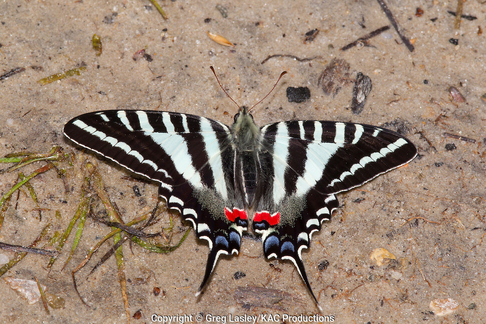 Zebra Swallowtail.Eurytides marcellus.Boykin Springs.Angelina National Forest.Angelina Co., Texas.24 March 2010