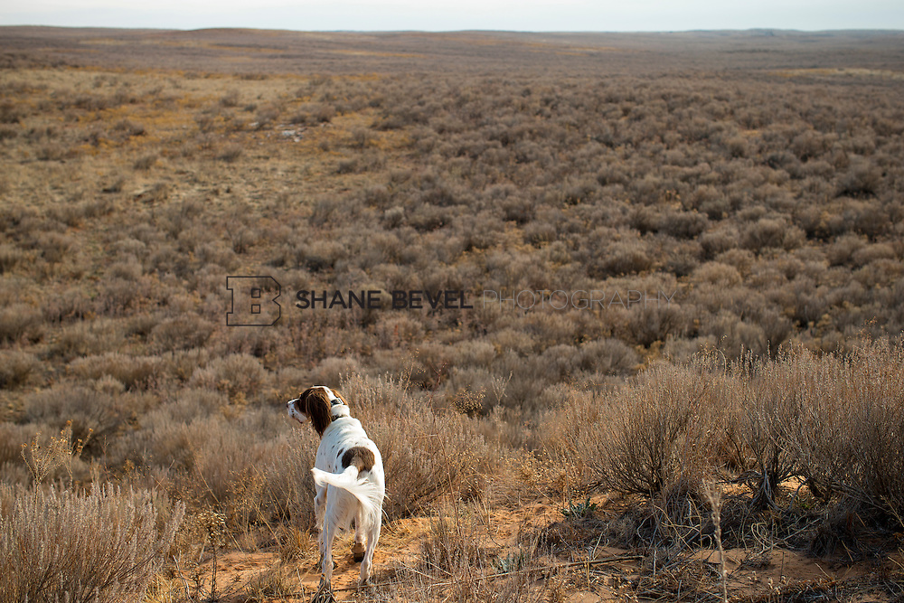 12/8/12 11:37:55 AM -- Quail hunting on the Cimarron Hills WMA in western Oklahoma. <br /> <br /> Photo by Shane Bevel