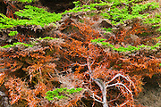 Cypress Tree covered in green algae, Point Lobos State Reserve, Carmel, California USA