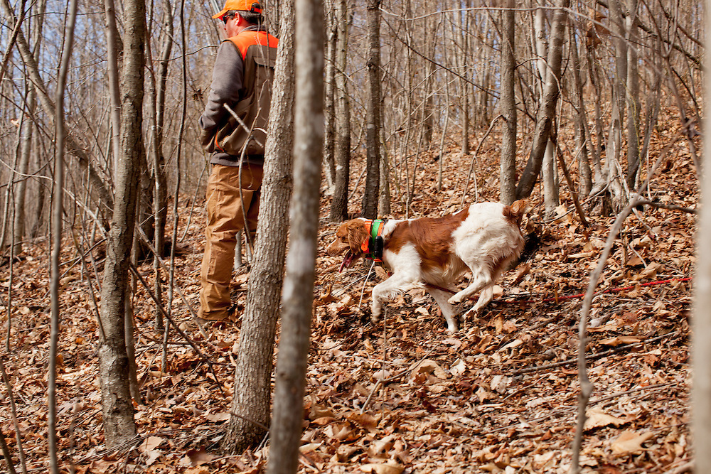Brittany Spaniel searching for grouse
