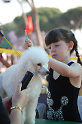 Israel, Tel Aviv, Girl is trimming and grooming a white miniature poodle at the International Dog Show 2010