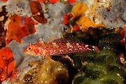 Blenny (Tripterygion delaisi) | Gelbe Spitzkopf - Schleimfisch (Tripterygion delaisi)