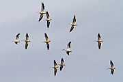 American White Pelican, California, North America
