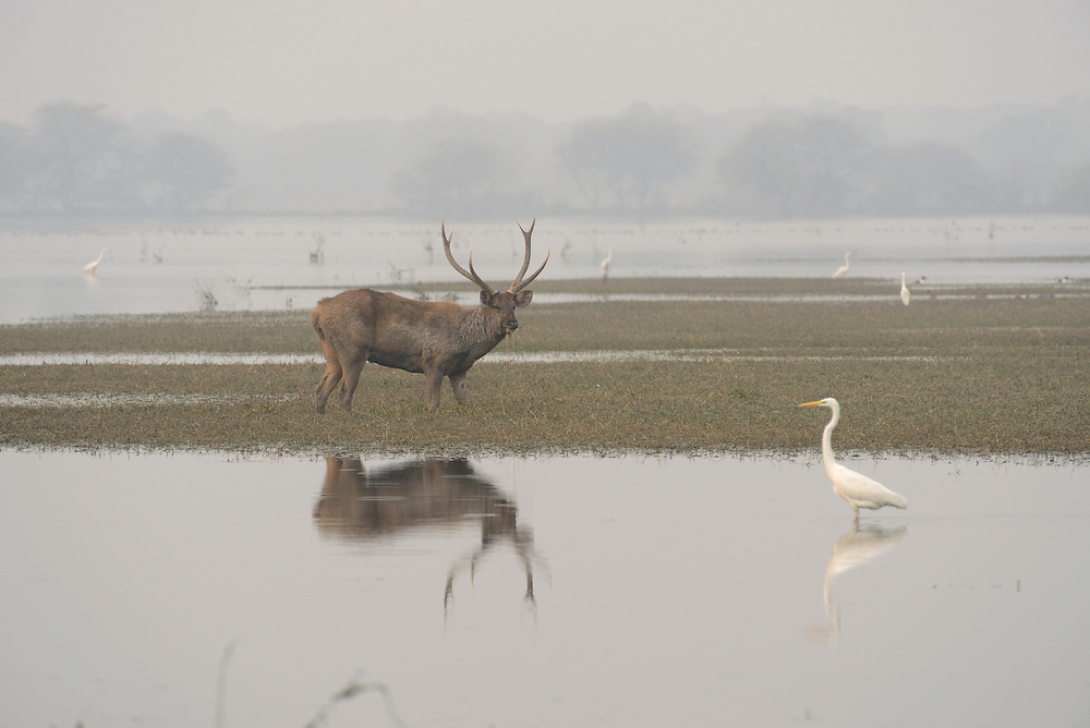 Sambar buck,Keoladeo National Park,Bharatpur Wildlife Sanctuary,UNESCO World Heritage site, Bharatpur,Rajasthan,India.