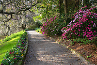 A walkway along the Ashley River shows lush flowering azalea, large live oak trees, and fragrant purple wisteria on the property of Magnolia Gardens in the Lowcountry of South Carolina.