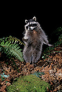 Raccoon (Procyon lotor)at night in Forest Park, Portland, Oregon. June, 1996 (note: this image has been cropped)