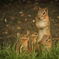 Chipmunks and Squirrels