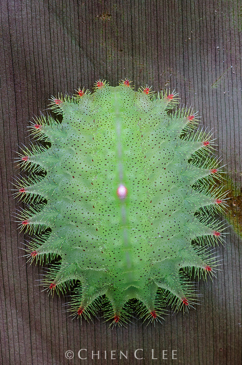 The hypodermic needle-like bristles on this slug moth caterpillar (Thosea sp., family Limacodidae) are capable of inflicting painful stings, making them an effective defense against would-be predators. Sarawak, Malaysia.