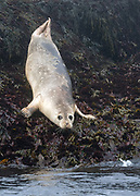 Harbor seal near Machias Seal Island, Maine