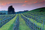 Sunset light on storm clouds over barren wine vineyard in winter, Carneros Region, Napa County, California