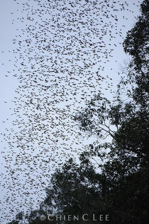 A large colony of Wrinkle-lipped Bats (Tadarida plicata) emerges from a cave at dusk. Mulu National Park, Sarawak, Malaysia.