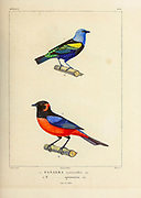 hand coloured sketch Top: blue-necked tanager (Tangara cyanicollis) Bottom: scarlet-bellied mountain tanager [Here as Tanagra igniventris]) From the book 'Voyage dans l'Amérique Méridionale' [Journey to South America: (Brazil, the eastern republic of Uruguay, the Argentine Republic, Patagonia, the republic of Chile, the republic of Bolivia, the republic of Peru), executed during the years 1826 - 1833] 4th volume Part 3 By: Orbigny, Alcide Dessalines d', d'Orbigny, 1802-1857; Montagne, Jean François Camille, 1784-1866; Martius, Karl Friedrich Philipp von, 1794-1868 Published Paris :Chez Pitois-Levrault et c.e ... ;1835-1847