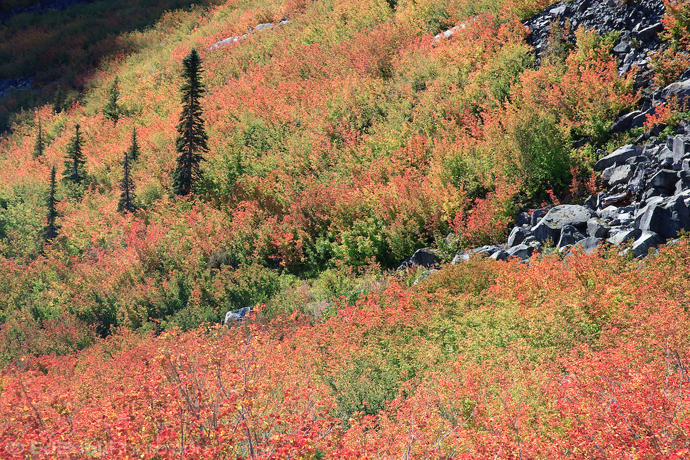 Vine Maple (Acer circinatum) in autumn color blankets a slope in Stevens Canyon, Mount Rainier National Park, WA, USA