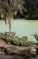 Vereinigte Staaten von Amerika, USA, Florida: amerikanischer Mississippi-Alligator (Alligator mississippiensis) rastet am Flussufer. | United States of America, USA, Florida: American Alligator, Alligator mississippiensis, resting on a riverbank, water covered with duckweed. |