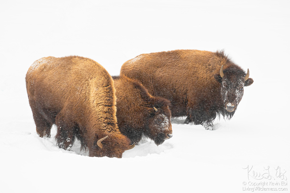 Three American bison (Bison bison) graze in deep snow near Fountain Flat in Yellowstone National Park, Wyoming. Bison are well equiped for harsh winter conditions. They grow a winter coat of wooly underfur, which has coarse hairs that protect them from the elements. The humps on their backs also contain muscles supported by long vertebrae that help swing their heads to move vast amounts of snow.