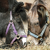 Supper friends. Two small horses eating together. Turtleback Zoo, West Orange, New Jersey, USA