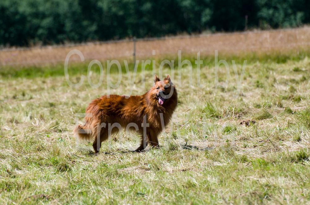 Hütehund Harzer Fuchs, Tanne, Harz, Sachsen-Anhalt, Deutschland | sheepdog Harzer Fuchs, Tanne, Harz, Saxony-Anhalt, Germany