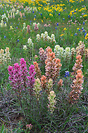 Not all Castilleja (Indian paintbrush) are red!  These examples growing alongside US 283 in the heart of Texas cover the range from white to pink to blush red.
