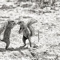 Kalahari Ground Squirrels