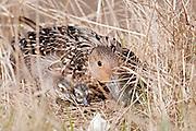Northern Pintails, Anas acuta, female at nest with ducklings, Yukon Kuskokwim Delta NWR, Alaska