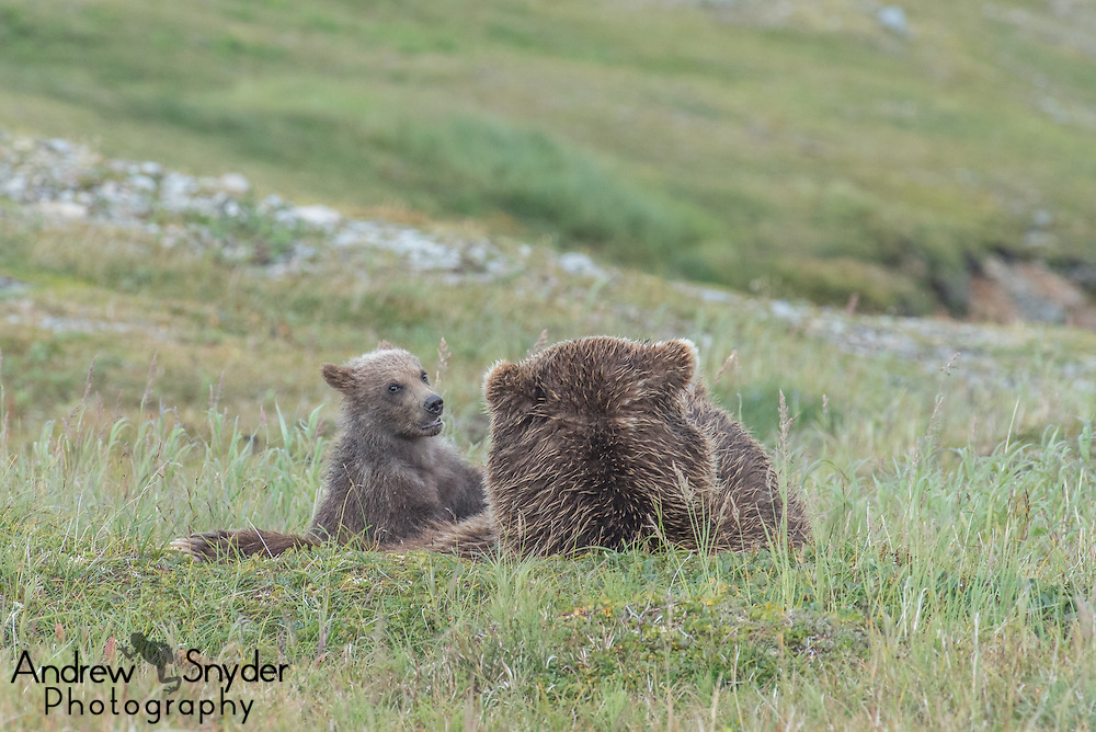 A mother bear plays with her cubs - Katmai, Alaska