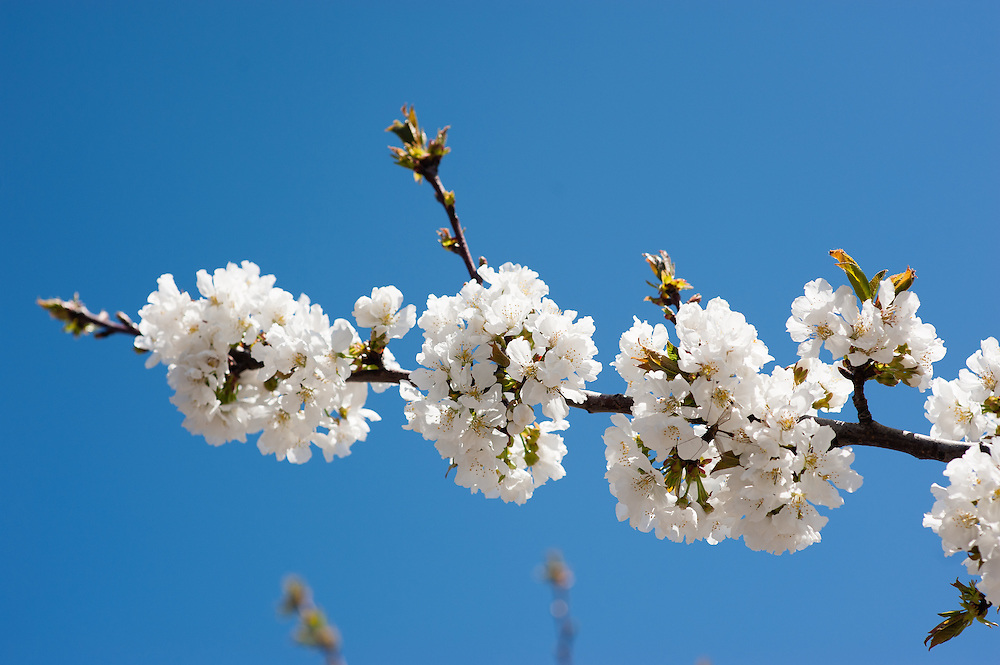 Cherry tree in full blossom in Valle del Jerte (Spain)