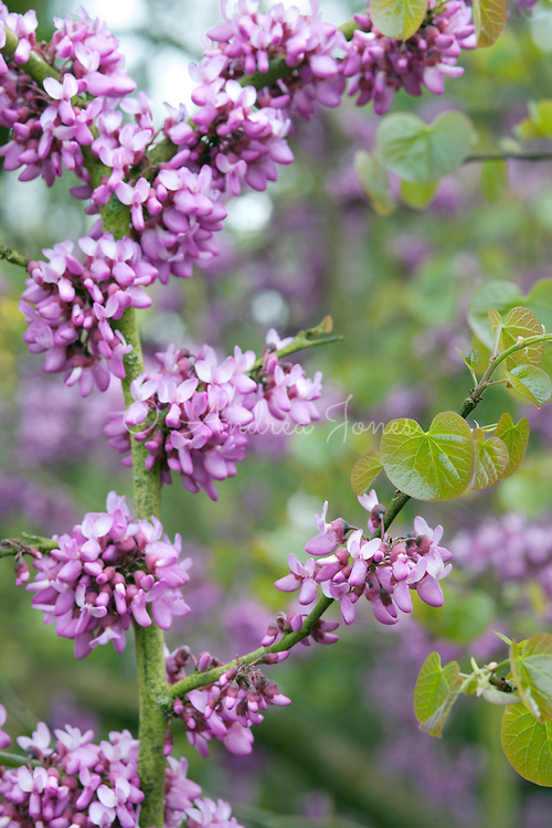Cercis siliquastrum (Judas tree) pink flower