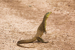 A small Yellow-spotted monitor (Varanus panoptes)  on Liveringa Station in the West Kimberley.
