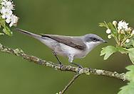 Lesser Whitethroat - Sylvia curruca