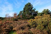 Winter landscape of trees and heather plants on heathland, Sutton Heath Suffolk, England, UK