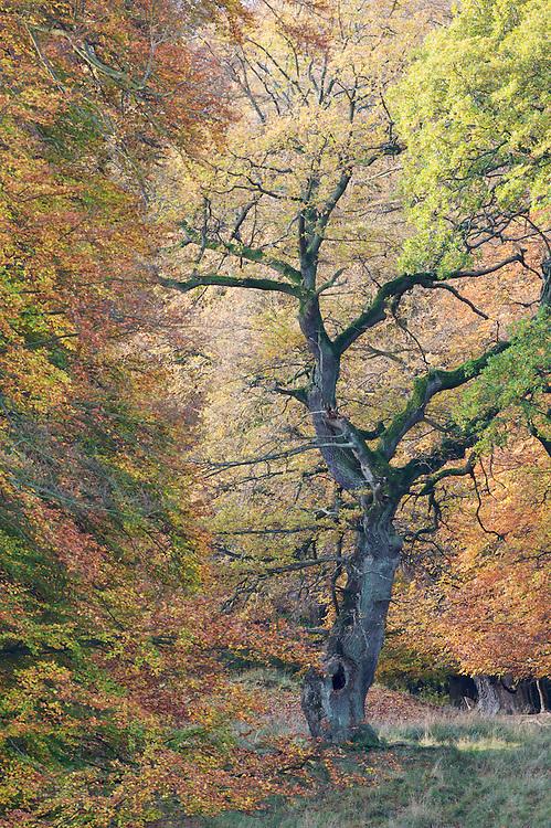 European Oak (Quercus robur), Klampenborg Dyrehave, Denmark