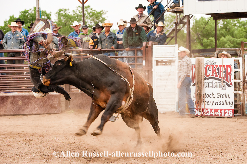 Bull Rider bucked off, Miles City Bucking Horse Sale, Montana, cowboys, rodeo