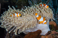 False Clown Anemonefish family at home<br /> <br /> Shot in Indonesia