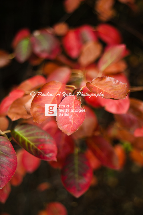 Red leaves in autumn, the dark shadows behind and the bright autumnal light enhancing the colour