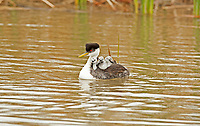 A female Western Grebe with three chicks riding on her back.