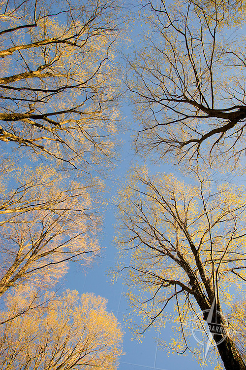 Trees with spring blossoms seen from below.