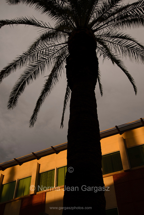 A palm tree grows on a college campus, Tucson, Arizona, USA.