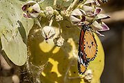 Plain Tiger (Danaus chrysippus) AKA African Monarch Butterfly on an Apple of Sodom (Calotropis procera) plant Photographed in Israel, in July