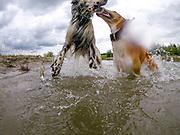 """English Setter """"Rudy"""" spielt mit einer Windhund Feundin am 19.06. 2018 im Teich von Stara Lysa, (Tschechische Republik). Rudy wurde Anfang Januar 2017 geboren."""