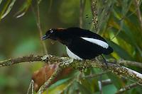 Berlepschi's Parotia Bird of Paradise (Parotia berlepschi) male.