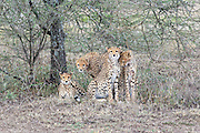 Cheetah family group in Tanzania, Africa