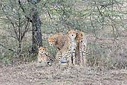 Cheetah family group in Tanzania, Africa