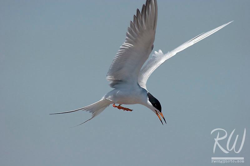 Forster's Tern (Sterna forsteri) Flying Over Bolsa Chica Wetlands Reserve, Huntington Beach, California